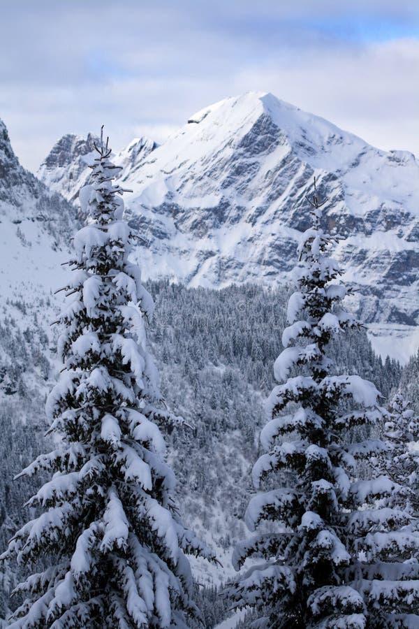 arbres de pin deux photos stock