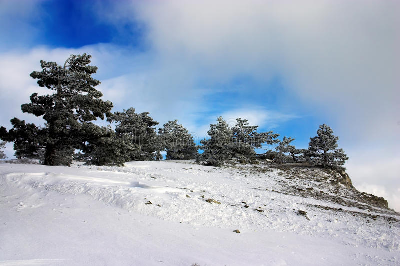 Arbres de pin en hiver photographie stock libre de droits