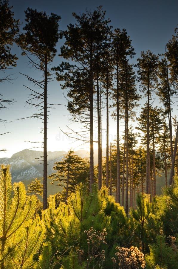 Arbres de pin grands à l'aube photos libres de droits