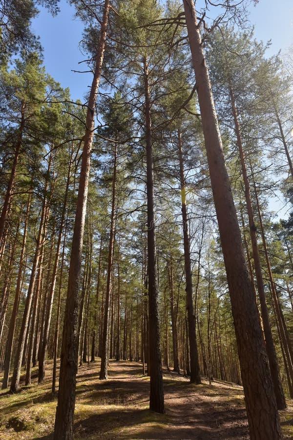 Arbres de pin grands dans la forêt image libre de droits