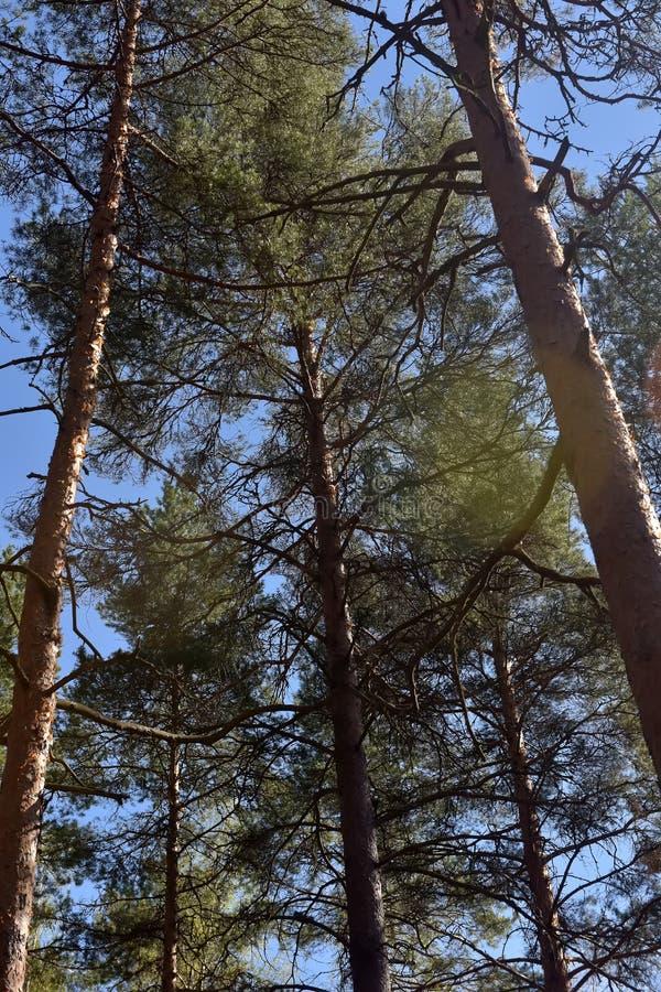 Arbres de pin grands dans la forêt photos libres de droits