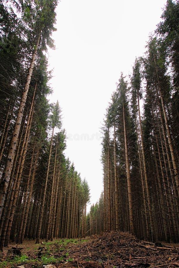 Arbres de pin grands dans la for?t photo stock