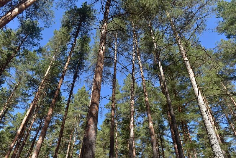 Arbres de pin grands dans la for?t photos libres de droits