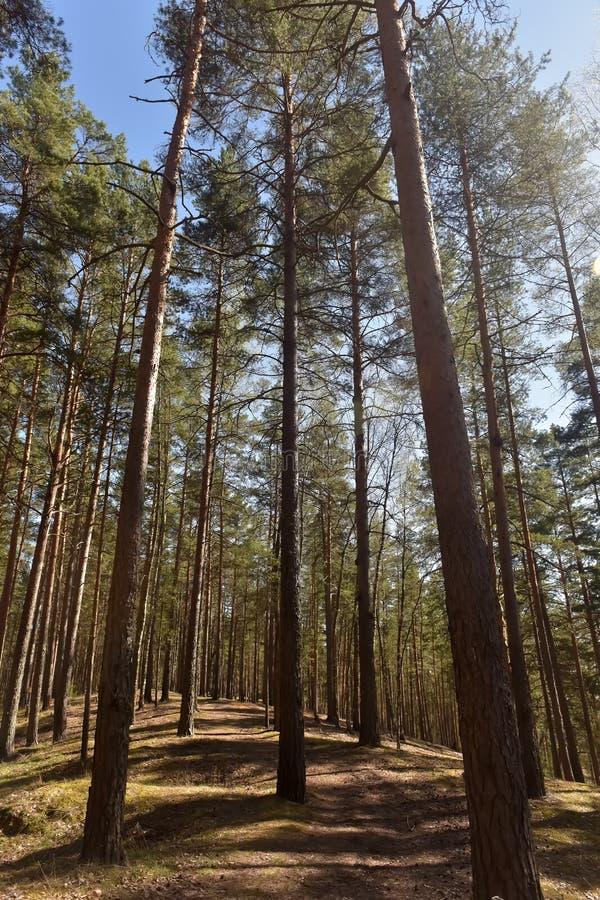 Arbres de pin grands dans la for?t image libre de droits