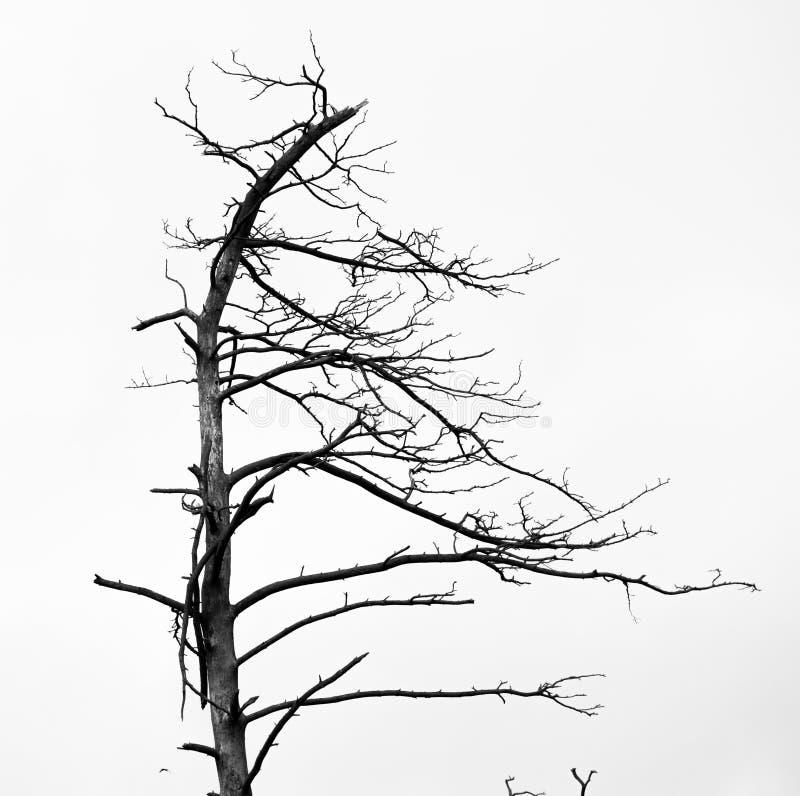 Arbres de pin morts image libre de droits