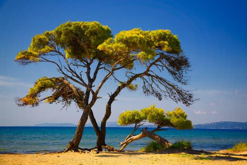 Arbres de pin par la plage photographie stock libre de droits