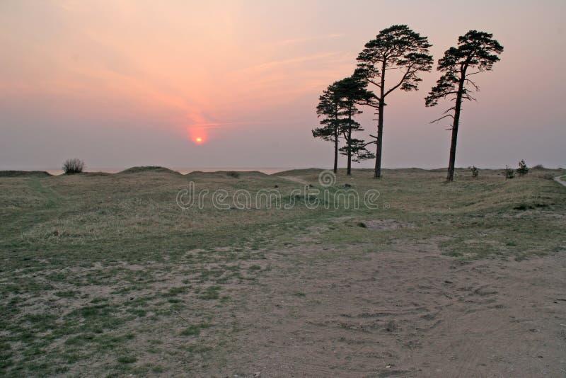 Arbres de pin sur la plage images stock