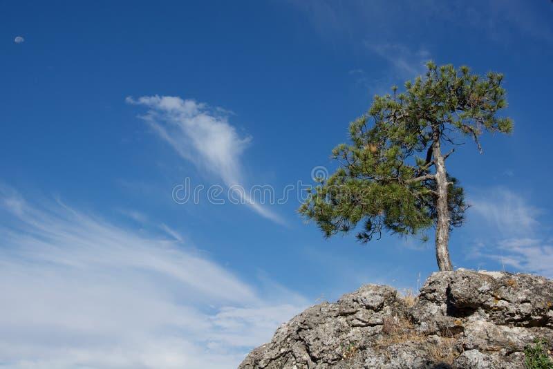 Arbres de pins image libre de droits