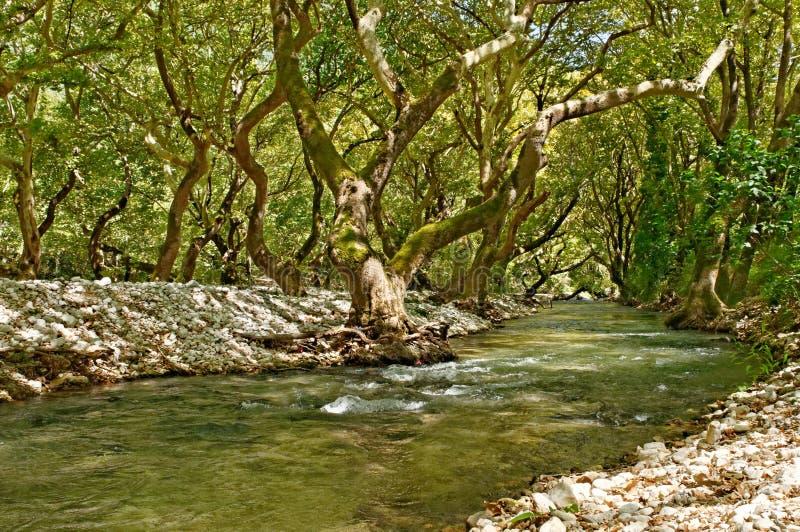 Arbres de rivière et de sycomore photo libre de droits