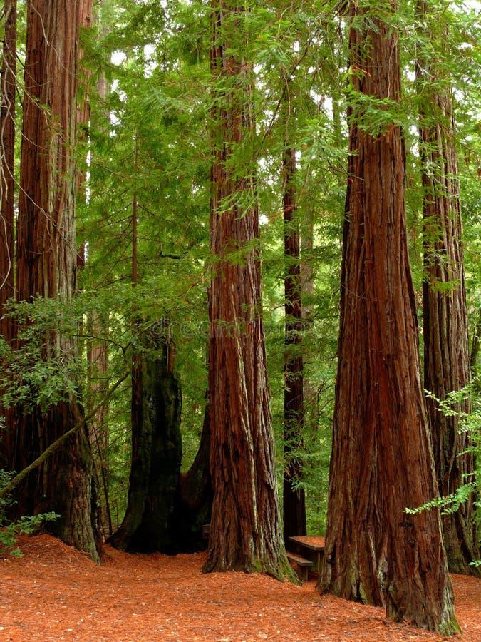 Arbres de séquoia photographie stock