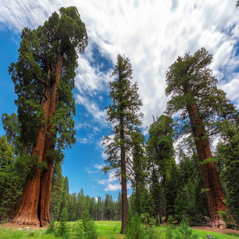 Arbres de séquoia en parc national de séquoia, la Californie image libre de droits