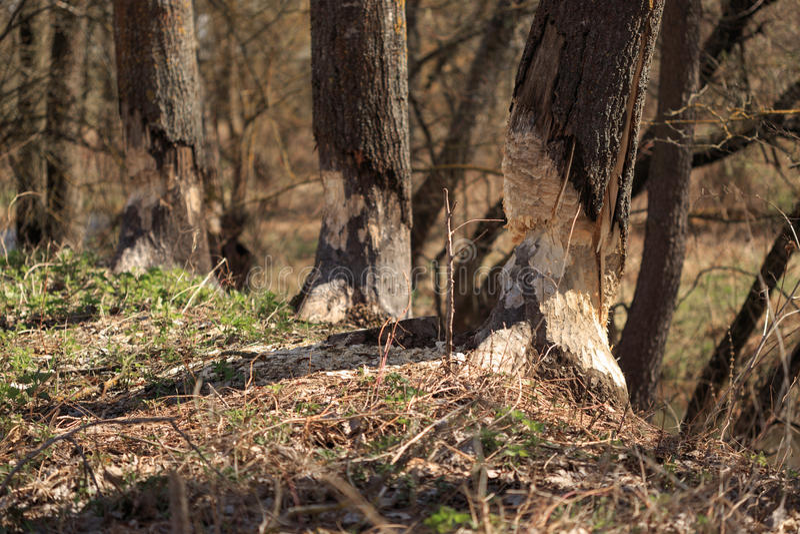 Arbres de troncs de paysage de ressort mangés par des castors image libre de droits