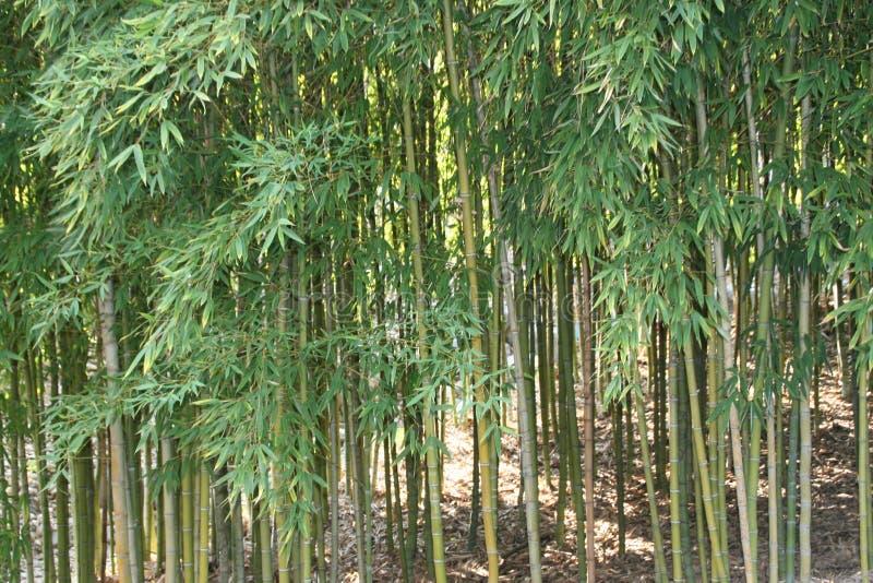 Arbres en bambou photographie stock