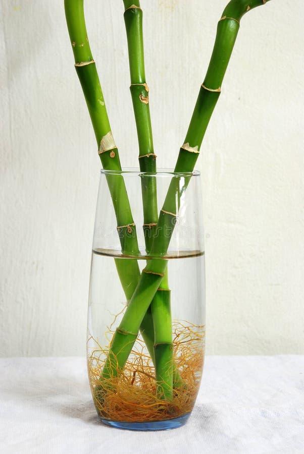 Arbres en bambou chanceux dans une glace images stock