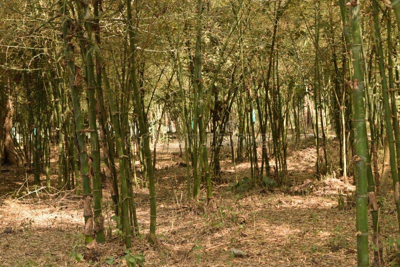 Arbres en bambou dans Kavery Nisarghadama images libres de droits