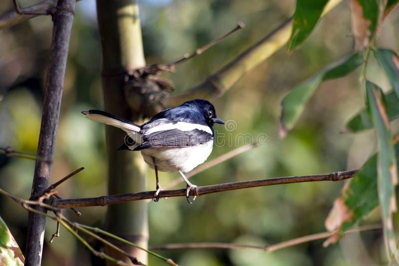 Arbres en bambou verts dans le forestb avec le bel oiseau image libre de droits