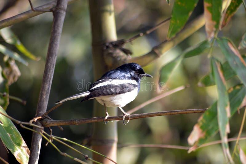 Arbres en bambou verts dans le forestb avec le bel oiseau photographie stock libre de droits