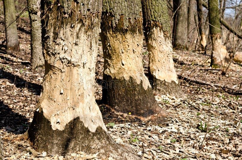 Arbres en bois rongés par des castors photographie stock libre de droits