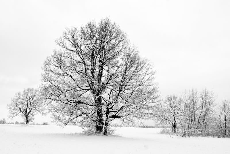 Arbres en hiver photos stock