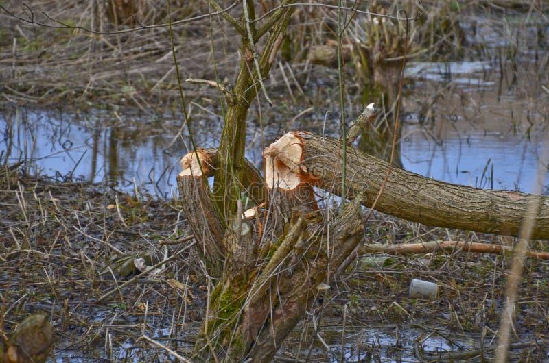 Arbres endommagés par des castors photographie stock
