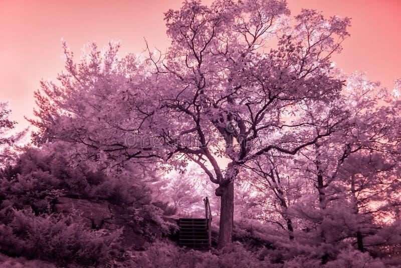 Arbres ensoleillés infrarouges photos libres de droits