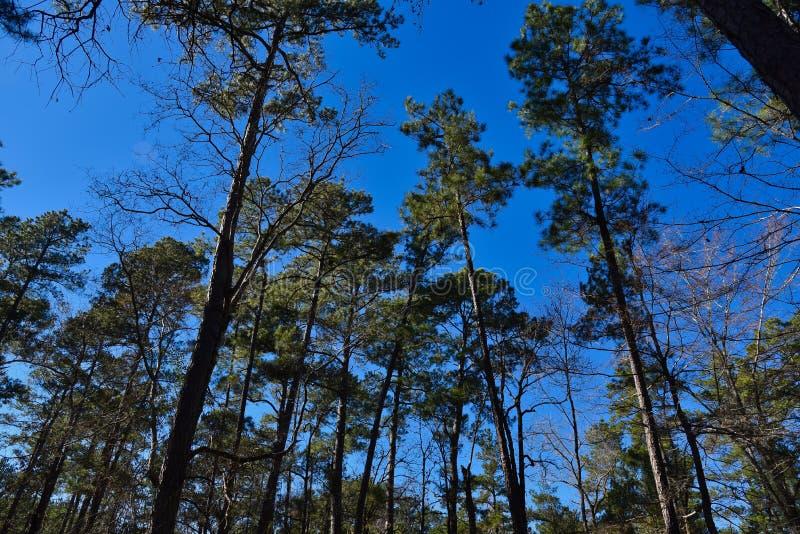 Arbres et ciel en bois Piney, le Texas est image stock