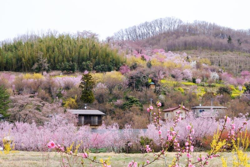 Arbres fleurissants multicolores couvrant le flanc de coteau, parc de Hanamiyama, Fukushima, Tohoku, Japon photographie stock