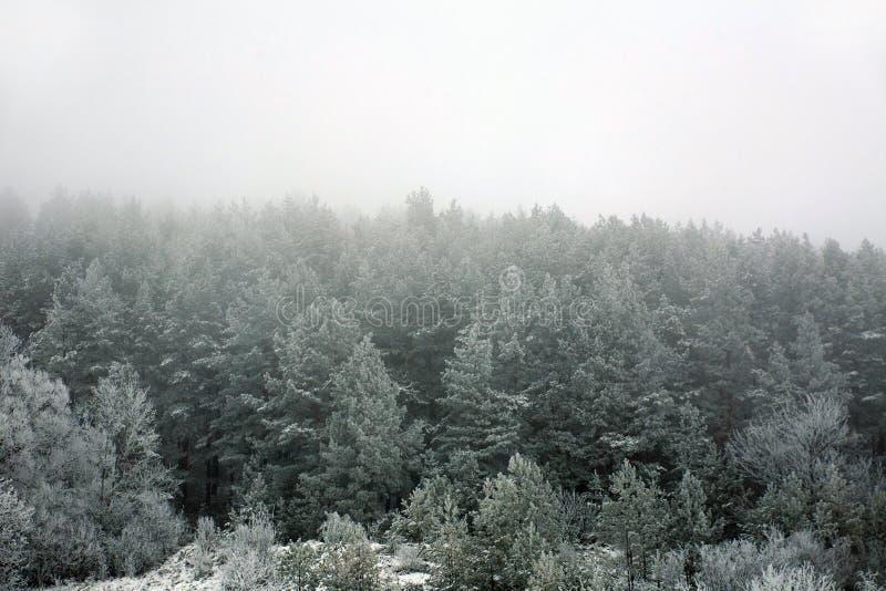 Arbres forestiers congelés de pin avec le gel le matin d'hiver en brouillard photos stock