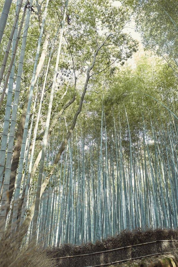 Arbres forestiers en bambou dans Arashiyama, Japon photo stock