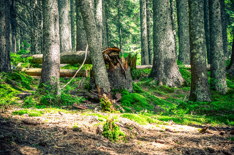 Download Arbres Forestiers Milieux En Bois Verts De Lumi?re Du Soleil De Nature Photo stock - Image du normal, accroissement: 77152048