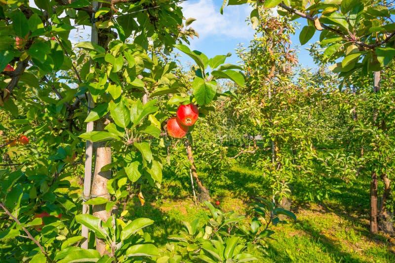 Arbres fruitiers dans un verger au soleil en automne images stock
