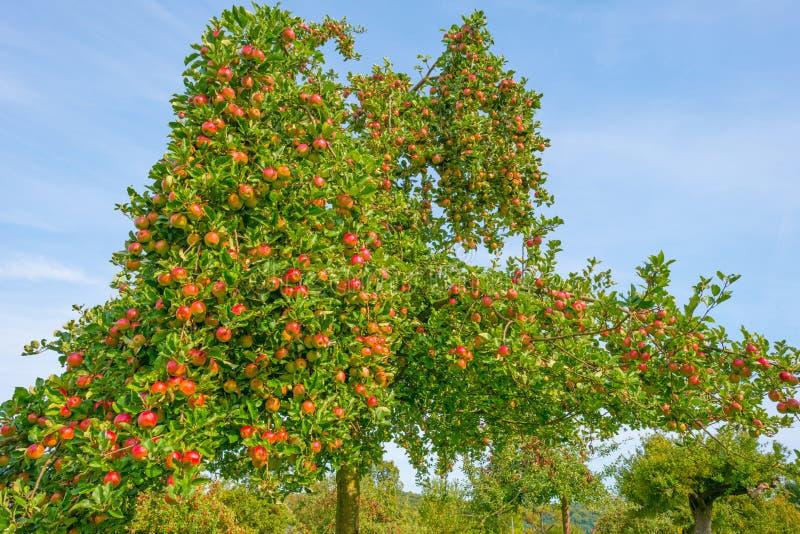 Arbres fruitiers dans un verger au soleil en automne photos stock