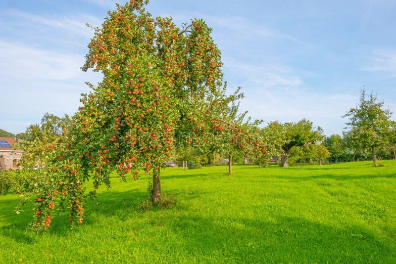 Arbres fruitiers dans un verger au soleil en automne photos libres de droits