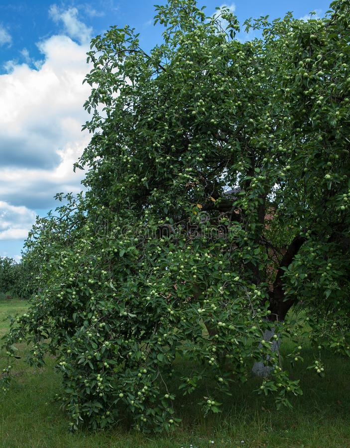 Arbres fruitiers dans un verger Un pommier qui se penche vers le bas au fond des pommes photo libre de droits