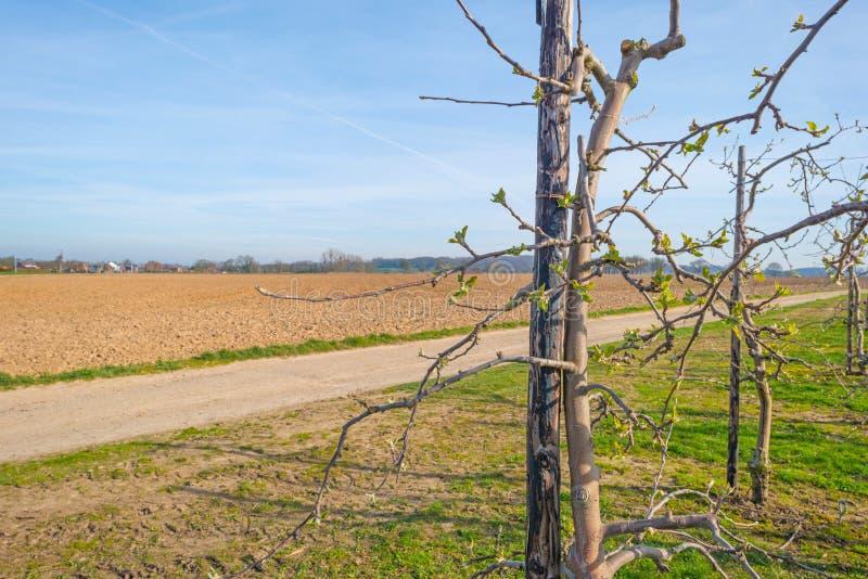 Arbres fruitiers de bourgeonnement dans un verger au printemps images libres de droits