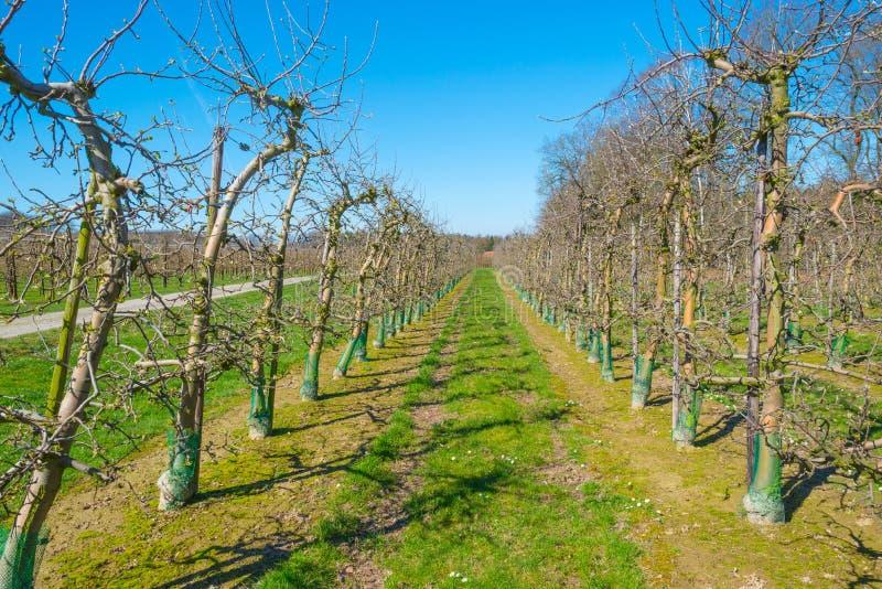 Arbres fruitiers de bourgeonnement dans un verger au printemps photos stock