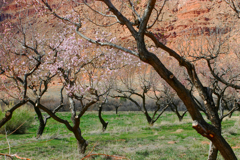 Arbres fruitiers et roche rouge Moab photo libre de droits
