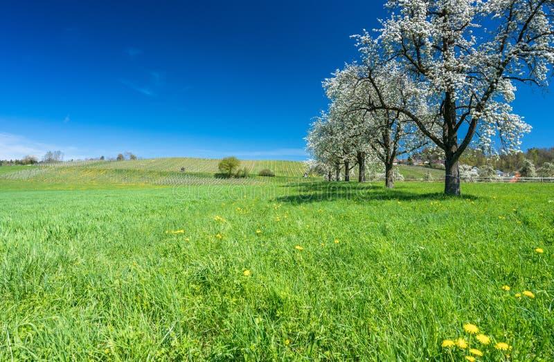 Arbres fruitiers et verger de floraison dans un domaine vert avec les pissenlits jaunes et un petit vignoble à l'arrière-plan image libre de droits