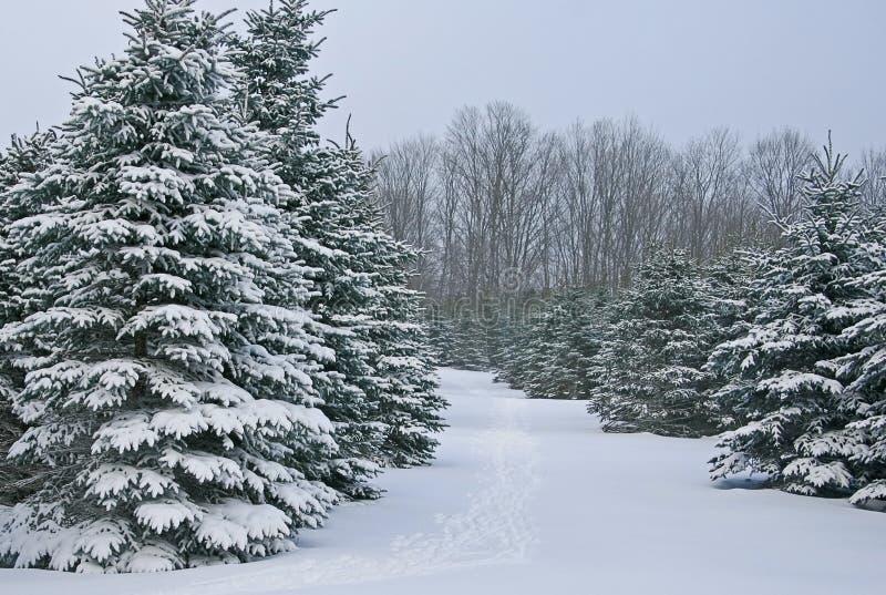 Arbres impeccables couverts de neige photos libres de droits