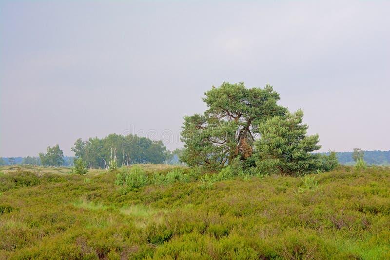 Arbres impeccables dans un paysage brumeux dans la réserve naturelle de bruyère de Kalmthout images stock