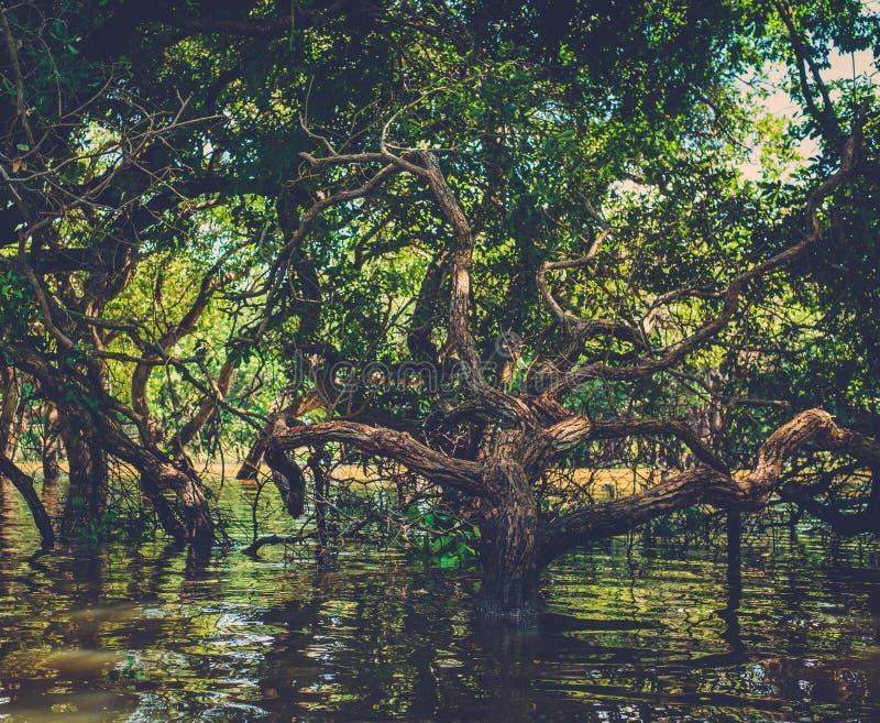 Arbres inondés dans le Kampong Phluk de forêt tropicale de palétuvier cambodia photographie stock