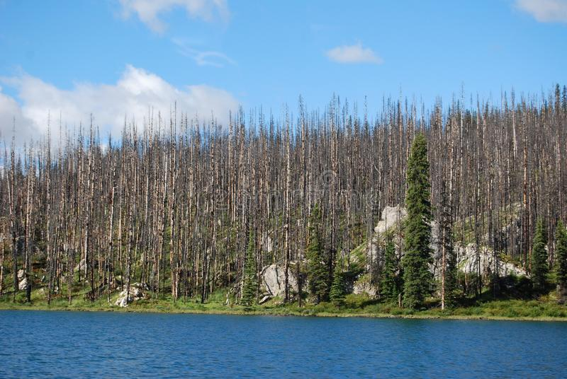 Arbres morts détruits par l'incendie de forêt images libres de droits