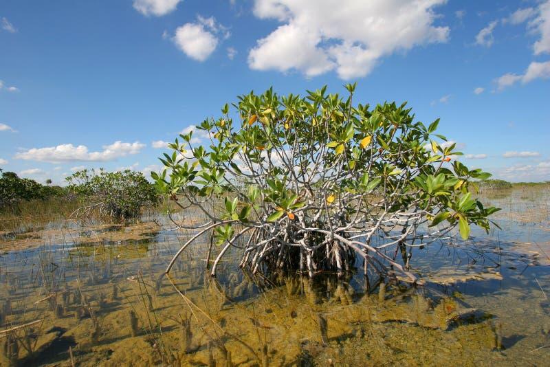 Arbres nains de palétuvier des marais parc national, la Floride photo libre de droits