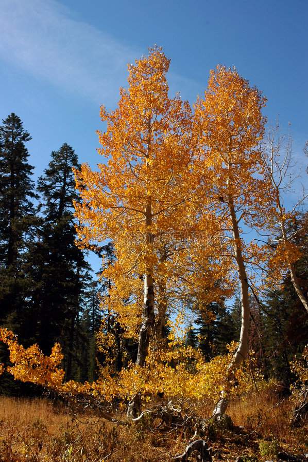 Arbres oranges d'Aspen images stock
