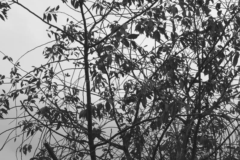 Arbres Pékin, photo noire et blanche de la Chine photos libres de droits