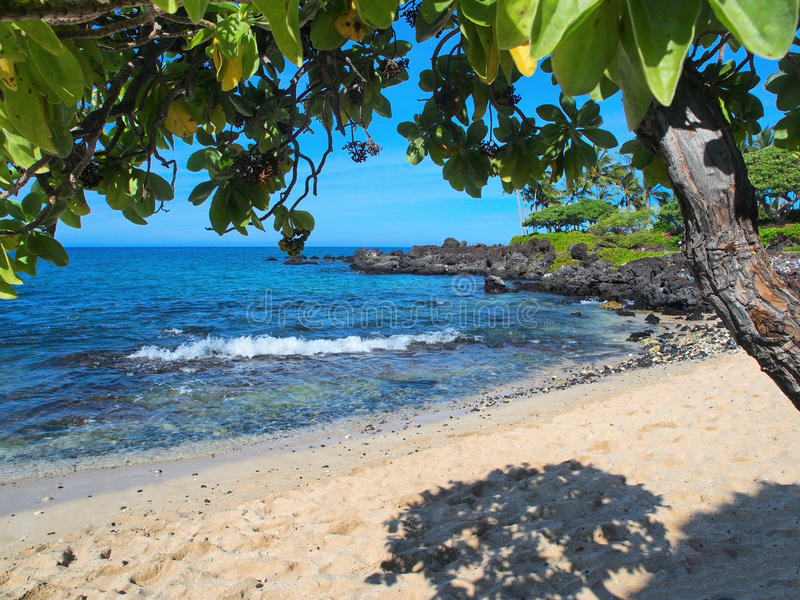 Arbres pourpres (argentea de Tournefortia) sur la plage hawaïenne photo stock