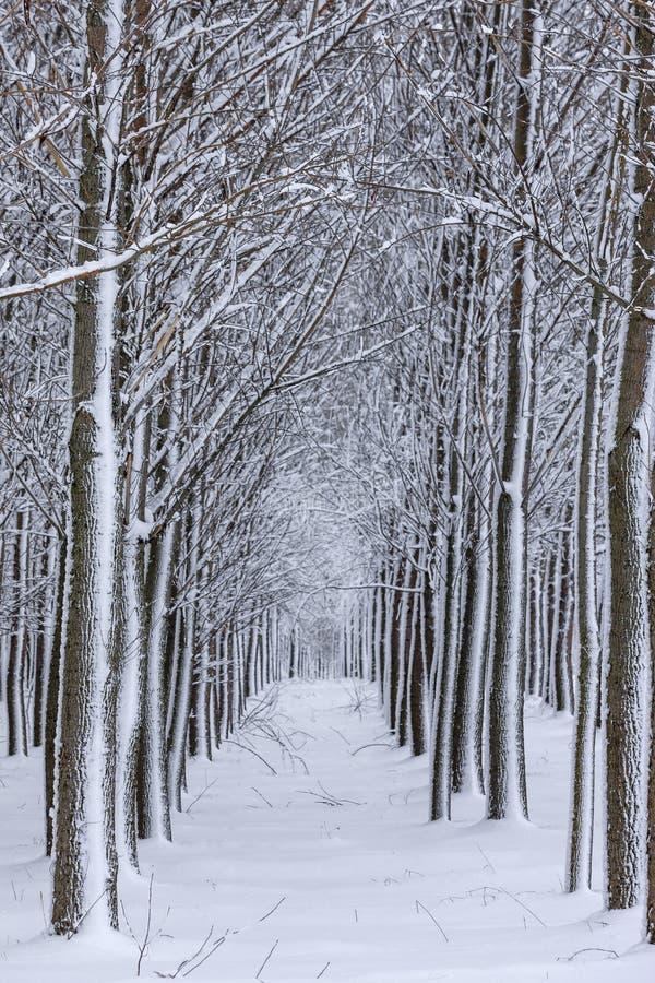 Arbres rayés par neige dans les rangées photos stock