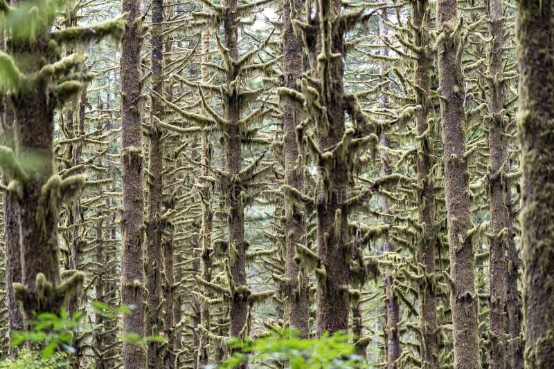 Arbres recouverts de mousse dans une forêt pluviale de la Colombie-Britannique photo stock