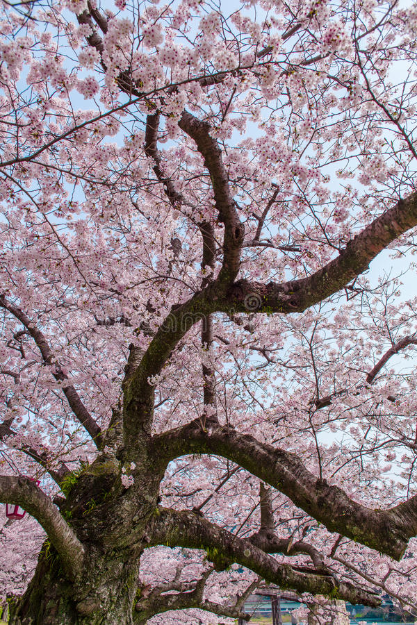 Arbres roses de fleurs de cerisier le long de la voie au printemps le japon image stock image - Arbre japonais rose ...