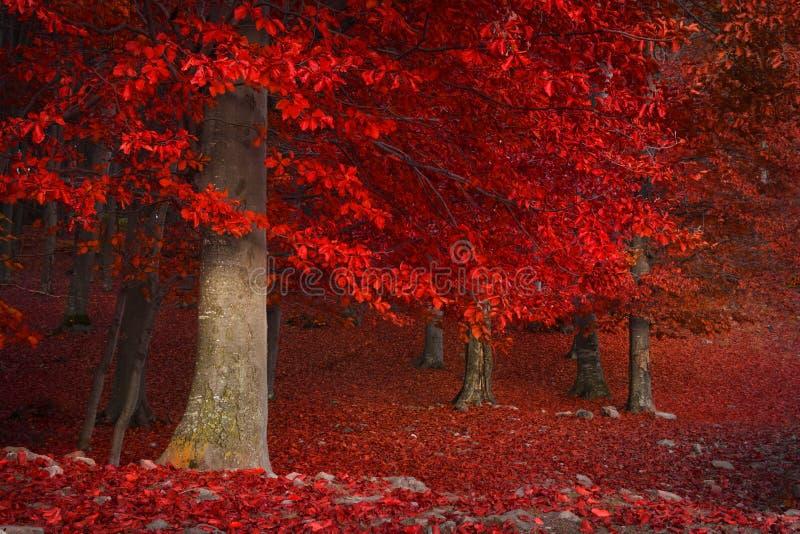 Arbres rouges dans la forêt photos stock